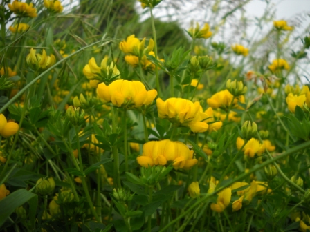 Perennial seeds it has been known to survive up to 30 years of pasturing it produces a beautiful cluster of bright canary yellow orchid like flowers mightylinksfo
